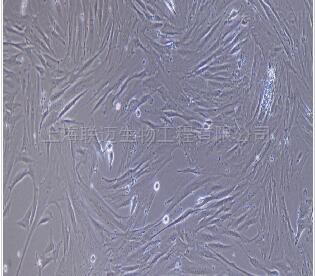 大鼠腹腔主动脉平滑肌细胞