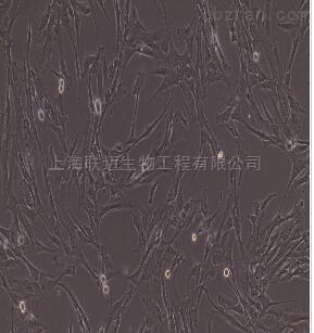 小鼠脉络膜微血管内皮细胞