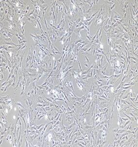 小鼠小肠成纤维细胞
