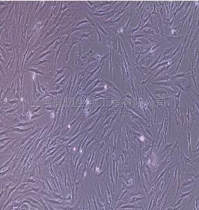 兔结肠成纤维细胞