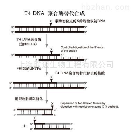 T4 DNA 聚合酶